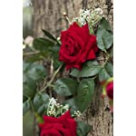 Lings-moment-56-FT-Long-Handcrafted-Velvet-Artificial-Rose-Vine-Silk-Flower-Garland-Hanging-Baskets-Plants-Valentines-Present-Table-Runner-Home-Outdoor-Wedding-Arch-Garden-Wall-Decor