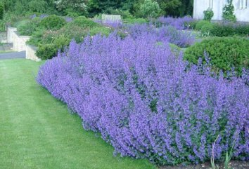 Catmint Nepeta Walkers Low Perennial Herb Plant Scented Leaves Lilac