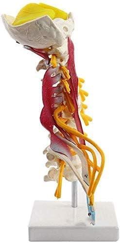 Model van de menselijke halswervels Ruggengraat Anatomisch model met zenuwen Achterhoofdsbeen Hersenstam Axilla Cervicale thoracale wervels 1: 1 Levensgroot skeletmodel
