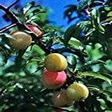 10 Seeds Chickasaw Plum, Sand Plum, Sandhill Plum (Prunus angustifolia) Fruit Tree