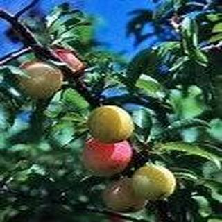 10 Seeds Chickasaw Plum, Sand Plum, Sandhill Plum (Prunus angustifolia) Fruit - Hours White Marsh