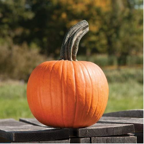 (David's Garden Seeds Pumpkin Cinnamon Girl PMR 9044 (Orange) 25 Non-GMO, Hybrid Seeds)