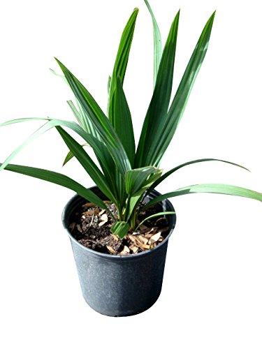 PlantVine Sabal Minor, Dwarf Blue-stem Palmetto - Large - 8-10 Inch Pot (3 Gallon), Live Plant - 4 Pack by PlantVine (Image #2)