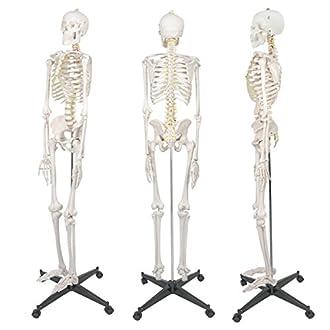 Anatomical Skeleton Image