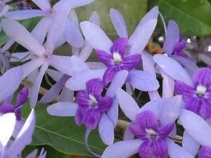Amazon petrea queens wreath florida wisteria purple flowering petrea queens wreath florida wisteria purple flowering tropical vine plant sz4p mightylinksfo