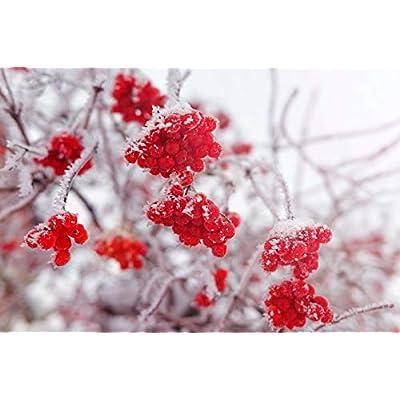Toyensnow - Blushing Viburnum foetidum VAR rectangulatum Shrub Bonsai or Standard (5 Seeds) : Garden & Outdoor