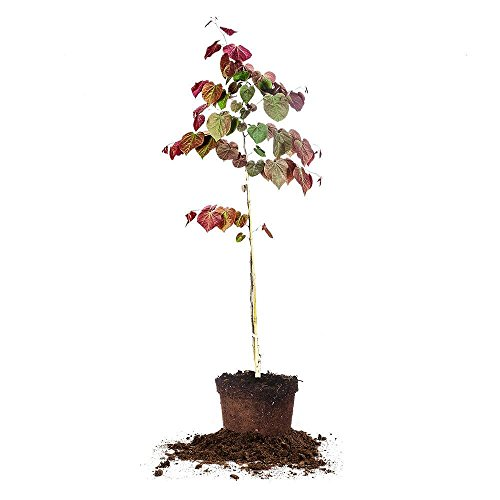 Forest Pansy Redbud - Size: 3-4 ft, Live Plant, Includes Special Blend Fertilizer & Planting Guide