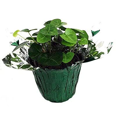 """AchmadAnam - 4"""" Pot/Decorative Cover - Sweetheart English Ivy - Hedera - Live Plant : Garden & Outdoor"""