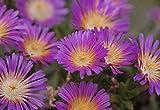 Violet Wonder Ice Plant - Perennial - Delosperma - Live Plant - Quart Pot