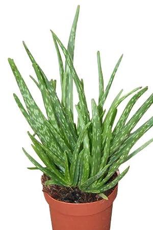 Zimmerpflanze Fur Wohnraum Oder Buro Echte Aloe Aloe Vera