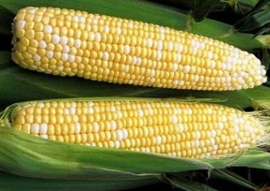 David's Garden Seeds Corn Sweet Bilicious D111COR (White and Yellow) 50 Hybrid Seeds