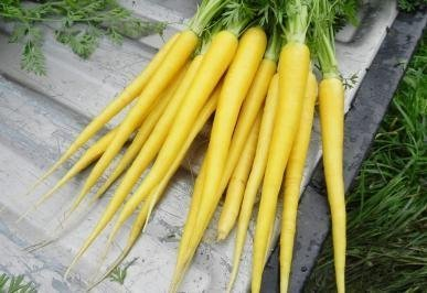 David's Garden Seeds Carrot Solar Yellow D126CAR (Yellow) 500 Heirloom Seeds