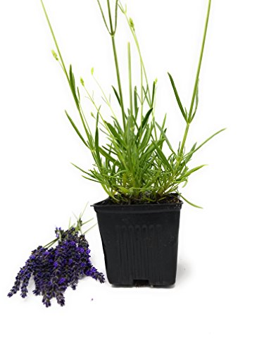 (Findlavender - Lavender GROSSO (Dark Purple Flowers) - 4