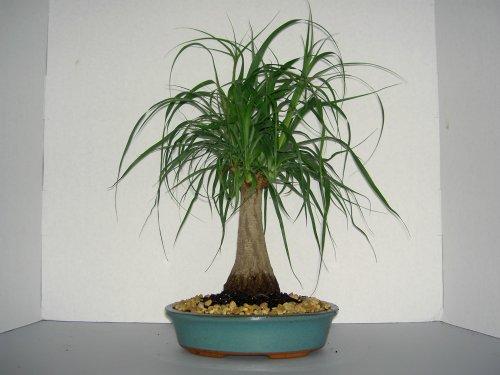 PONYTAIL PALM BONSAI TREE ()