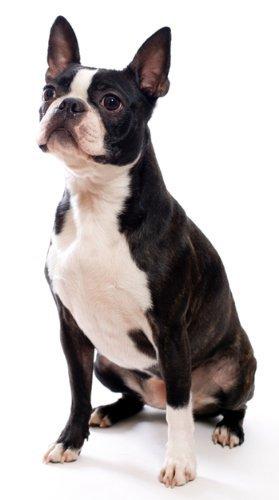 Boston Terrier ~ Dog Breed ~ Edible Cake Topper Boston Terrier Dog Custom Photo