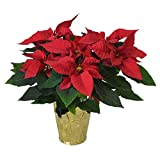 "The Three Company Live Flowering 6.5"" Poinsettias (4 Per Pack), Gorgeous Holiday Display, Vibrant Red in Gold/Silver Foil"