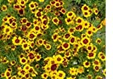 10,000 Plains Coreopsis Flower Seeds