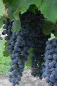 MERLOT RED WINE GRAPEVINE - 2 Year Old