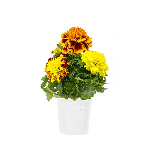 Cheap  Click & Grow French Marigold Refill 3-Pack for Smart Herb Garden