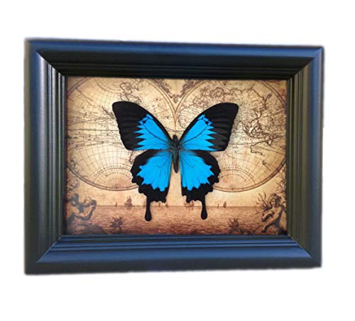 - Real Papilio Ulysses Swallowtail Butterfly Display Shadow Box