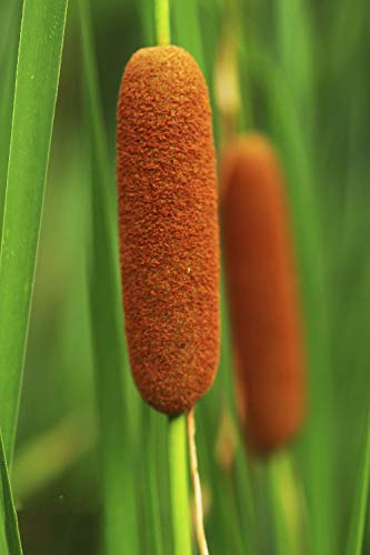 Cat-Tail Seeds,20 PCS-Typha Latifolia Seeds,Water Pond Aquatic Grass Flower Seeds,Easy to Live for Garden Decoration