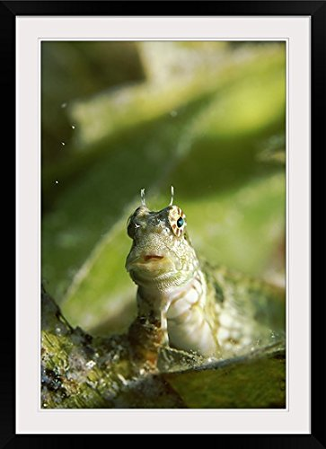 GreatBIGCanvas ''Underwater scene of Banded blenny (Salarias fasciatus), Sulawesi, Indonesia'' Photographic Print with Black Frame, 24'' x 36'' by greatBIGcanvas