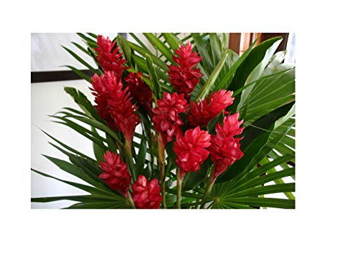 Hawaiian Exotic Flower Plant Roots - Bamboo Orchids - Hibiscus - Ginger -Ti Logs (Red Ginger Root)