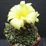 Frailea grahliana, Cacti Rare Cactus Aloe Seed 15 Seeds AJND-0039