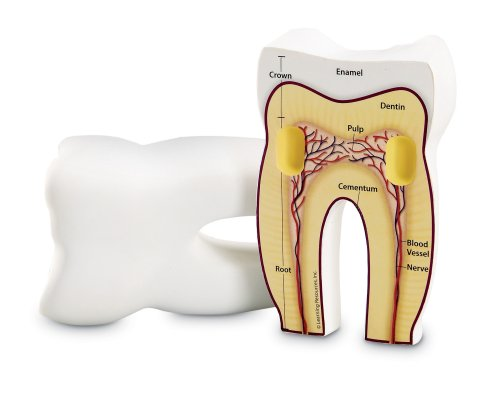 Learning Resources Cross-section Tooth Model (Kids Dental Kit compare prices)