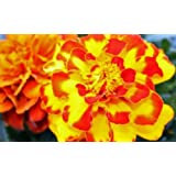450 Non GMO Heirloom French Sparky Marigold Flower Seeds