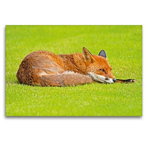 Premium Textil de lienzo 45cm x 30cm Horizontal Un zorro roja se relaja en una pradera verdes, 120 x 80 cm por CALVENDO