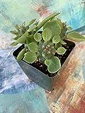 Euphorbia ritchiei subsp. ritchiei, Monadenium ritchiei