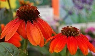 Echinacea Somrero Series ORANGE CONEFLOWER Seeds!