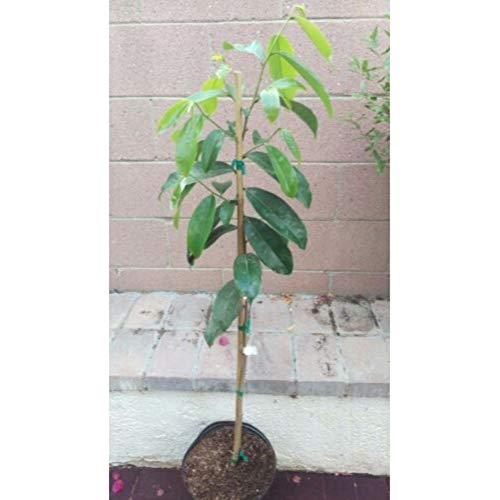Dwarf-Soursop Tropical Fruit Tree 36 Inch Height in 3 Gallon Pot #BS1 by iniloplant (Image #1)