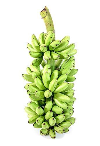 Hardy Banana Ice Cream Plant Tasty Blue Java Garden Patio Yard Sweet Fruit Tree by georgeusshop77 (Image #1)