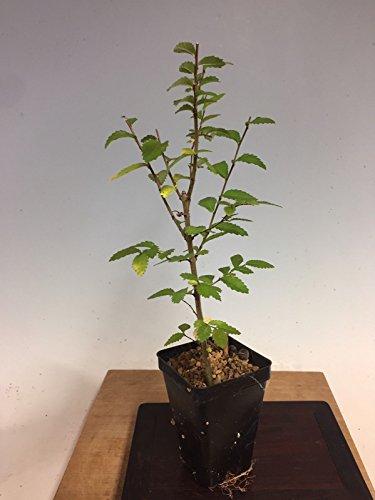 hinese Elm, Ulmus Parviflora Pre Bonsai Seedling Stock. 2 1/4