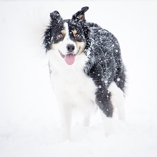 nt on canvas or paper. Photograph of a border collie playing in the snow. Wall Art. ()