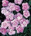 Dianthus gratianopolitanus Cheddar Pink (grand. Rose) 2,000 seeds