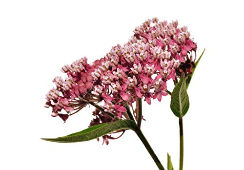 - Plant Swamp Milkweed Seeds to Help Save the Monarch Butterflies - Incarnata Milkweed