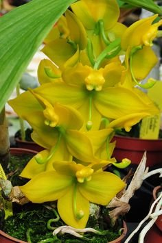 4 Live Orchid Plants to Choose (Dendrobiums) by Angel's Special (Image #9)