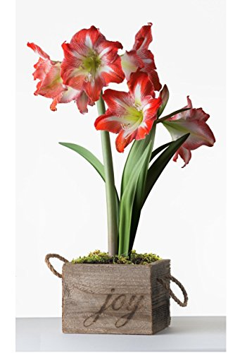 Pre-Planted Amaryllis Gift - Amaryllis Minerva Flower Bulbs in a Reclaimed Wood Square w/ Joy Handmade in USA