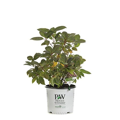Quick Fire Hardy Hydrangea (Paniculata) Live Shrub, White to Pink Flowers, 3 Gallon