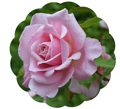 Stargazer Perennials Belinda's Dream Rose Plant Potted - Pink Fragrant Flowers Own Root
