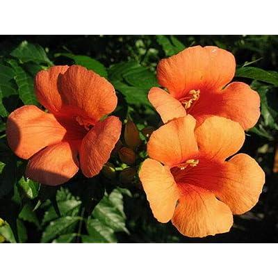 Toyensnow - Hummingbird Trumpet Creeper Vine Campsis Radicans Flower (25 Seeds) : Garden & Outdoor