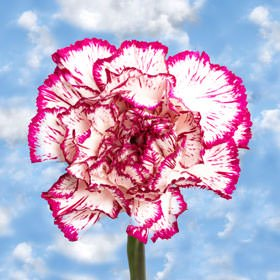 GlobalRose 300 Fresh Cut Bi-Color Carnations - Fresh Flowers Wholesale Express Delivery by GlobalRose (Image #2)