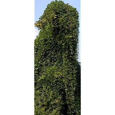 Kudzu Root, Powder - Wildcrafted - Pueraria lobata (454g = One Pound) Brand: Herbies Herbs: Health & Personal Care