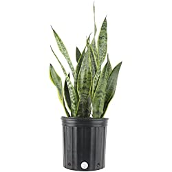 Costa Farms, Premium Live Indoor Snake Plant, Sansevieria laurentii, Floor Plant, Grower Pot, Shipped Fresh from Our Farm, Excellent Gift