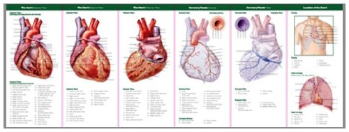 Anatomy of the Heart: Study Guide (Anatomical Chart Company's Illustrated Pocket Anatomy) Anatomy of the Heart: Study Guide (Anatomical Chart Company' s Illustrated Pocket Anatomy) Lippincott Williams and Wilkins 9780781776813 ANF: Health and Wellbeing