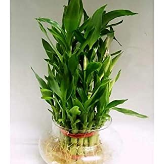 3 Layer Big Lucky Bamboo Plant with Free Glass Pot 417K57QrDBL