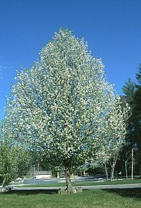 Bradford Flowering Pear Tree - 2 Year Old 4-5 Feet Tall ()